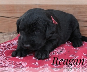Labradoodle Puppy for sale in CHEYENNE, WY, USA