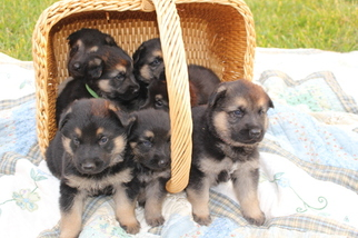 German Shepherd Dog Puppy For Sale in LINCOLNTON, NC