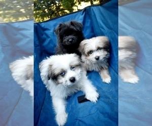 Pom-Shi Puppy for sale in DINWIDDIE, VA, USA