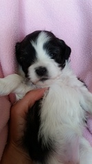 Havashu Puppy For Sale in SHELDON, WI, USA