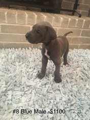 Great Dane Puppy For Sale in NORMAN, OK