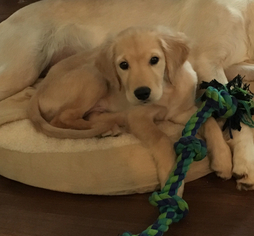 Golden Retriever Puppy For Sale in FRANKLIN, NC, USA