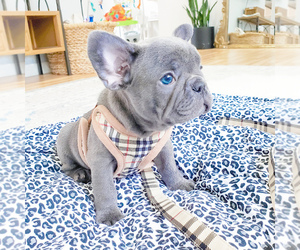 French Bulldog Puppy for Sale in ARLINGTON, Washington USA