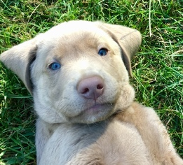 Silver Lab Puppies AKC FULL registration