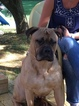 Bullmastiff Puppy For Sale in BOILING SPRINGS, PA, USA