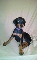 Doberman Pinscher Puppy For Sale in GLEN ALLEN, VA