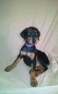 Puppy 6 Doberman Pinscher