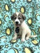 Akbash Dog-Great Pyrenees Mix Puppy For Sale in LANCASTER, PA, USA