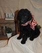 Goldendoodle Puppy For Sale in HERNANDO, MS