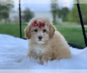 Poodle (Toy) Puppy for Sale in HOUSTON, Texas USA