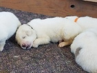 Great Pyrenees Puppy For Sale in FRANKTOWN, CO, USA