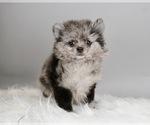 Puppy 15 Pomeranian