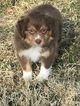 Miniature Australian Shepherd Puppy For Sale in COMANCHE, TX, USA