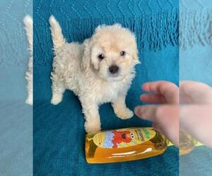 Goldendoodle Puppy for sale in WEST COVINA, CA, USA