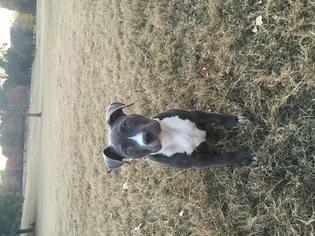 American Pit Bull Terrier Puppy For Sale in ATLANTA, GA