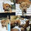 Chinese Shar-Pei Puppy For Sale in PALM DESERT, CA, USA