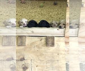 Labrador Retriever Puppy for sale in BROCTON, IL, USA