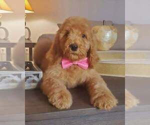 Poodle (Standard) Puppy for Sale in BRONX, New York USA