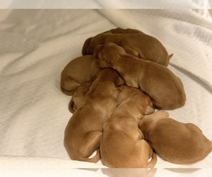 Golden Retriever Puppy for sale in SAN ANGELO, TX, USA