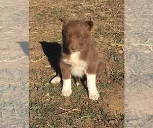 Border Collie Puppy for Sale in CARR, Colorado USA