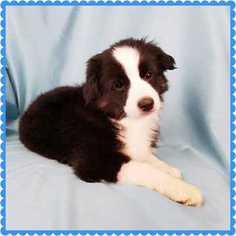 Australian Shepherd Puppy For Sale in PHOENIX, AZ, USA