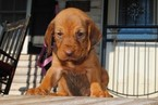 Bloodhound Puppy For Sale in NORWOOD, NC, USA