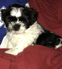 Shih Tzu Puppy For Sale in RICHMOND, KY