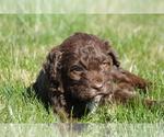 Puppy 2 Springerdoodle