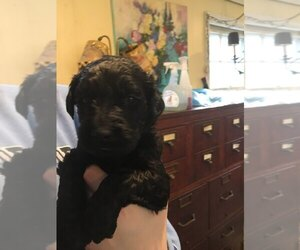 Labradoodle Puppy for sale in ASHLAND, MA, USA