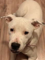 American Pit Bull Terrier Mix Dog for Adoption in FALCON, Colorado USA