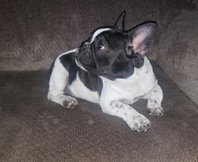 View Ad French Bulldog Puppy For Sale Near Connecticut E Haven