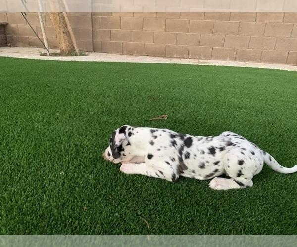 Medium Photo #5 Great Dane Puppy For Sale in MARICOPA, AZ, USA