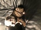 English Bulldogge Puppy For Sale in SACRAMENTO, CA