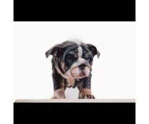 English Bulldog Puppy for Sale in WORCESTER, Massachusetts USA