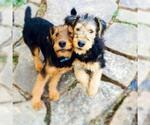 Small #7 Airedale Terrier