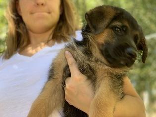 View Ad German Shepherd Dog Puppy For Sale Colorado Pueblo Usa