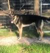 German Shepherd Dog Puppy For Sale in BELL, FL, USA