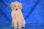 AKC Registered Golden Retriever Female Tammy
