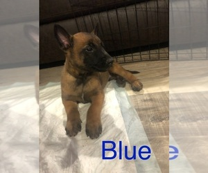 Belgian Malinois Puppy for sale in SPRINGFIELD, MO, USA