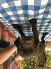 German Shorthaired Pointer Puppy For Sale in ALACHUA, FL, USA