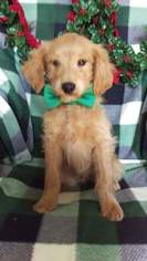 Goldendoodle Puppy for sale in EDEN, PA, USA