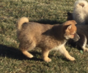 Pomsky Puppy For Sale in GRISWOLD, IA, USA