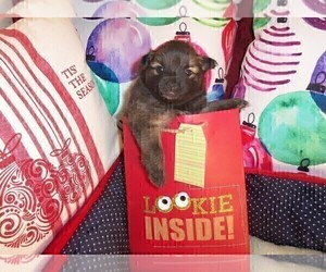 Pomeranian Puppy for Sale in SEBASTIAN, Florida USA