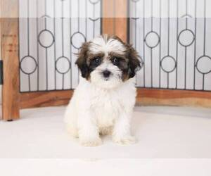Shih-Poo Puppies for Sale in USA, Page 1 (10 per page