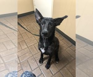 Shepradors Dogs for adoption in FLINT, TX, USA