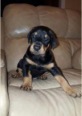 Doberman Pinscher Puppy for sale in SPRINGFIELD, MO, USA