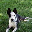 Border Collie Puppy For Sale in CLEAR SPRING, MD, USA