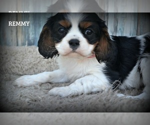 Cavalier King Charles Spaniel Puppy for Sale in NILES, Michigan USA