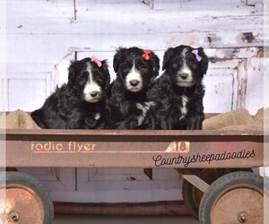 Sheepadoodle Puppy for sale in HALLWOOD, CA, USA