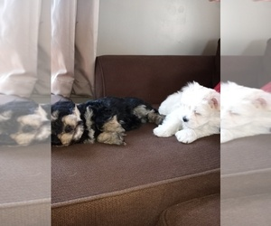 Morkie Puppy for sale in RIVES JCT, MI, USA